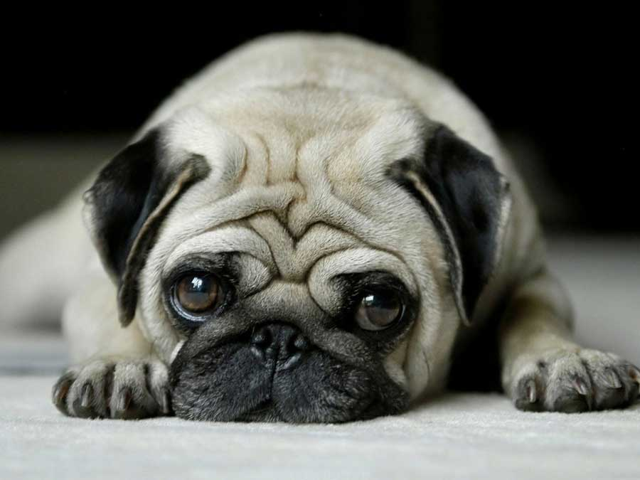Pugs India Pug Dog Price Complete Guide For Care Training